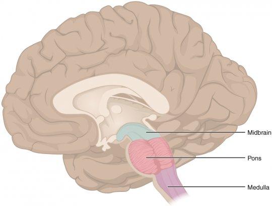 მოგრძო ტვინი