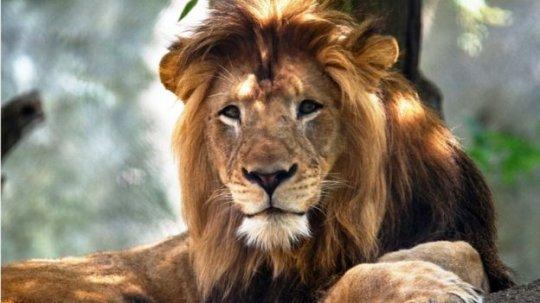 ძუ ლომმა საკუთარი ბოკვერების მამა მოკლა