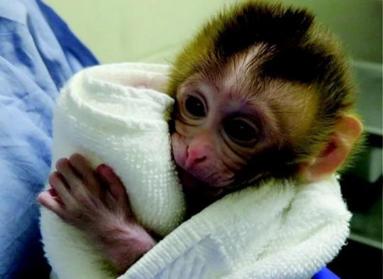 კვლევები კიბოს შინააღმდეგ, ცდები ჯერ მაიმუნებზე ჩატარდა