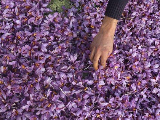 დედამიწაზე ყველაზე ძვირადღირებული საკვები  იისფერი ყვავილების მინდორზე მოდის