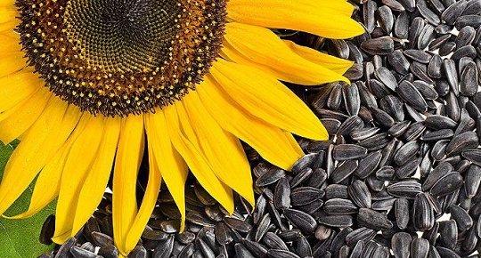 რა მოხდება თქვენს ორგანიზმში, თუ მზესუმზირას ხშირად მიირთმევთ