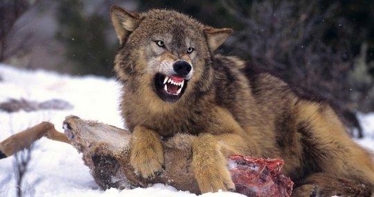 წითური მგელი