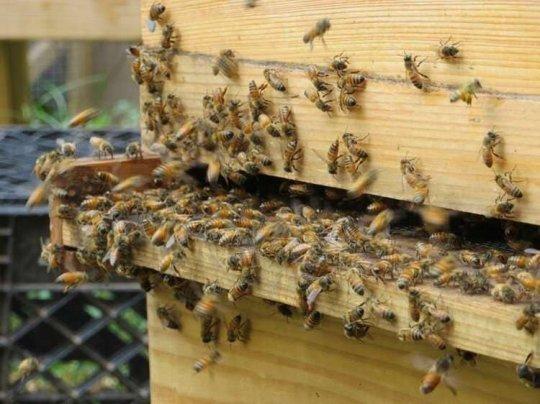 ფუტკრები