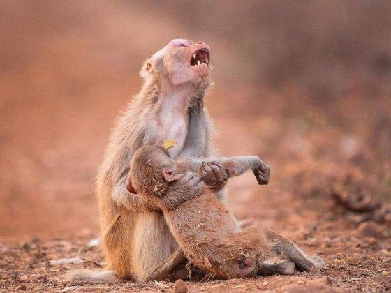 ასე დასტირის მაიმუნი მკვდარ შვილს