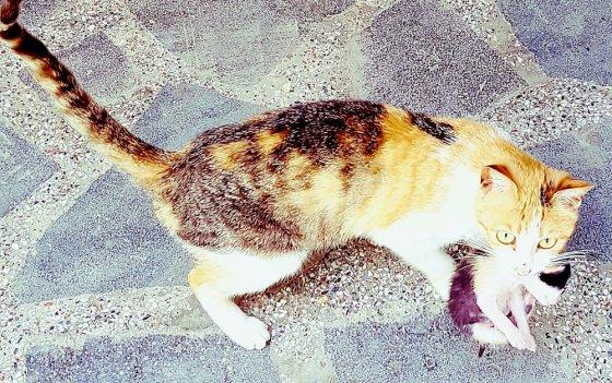 კატა თავის ახალშიბილ კნუტს მიათრევს