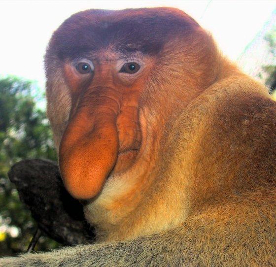 ცნობილია როგორც პრობოსკის მაიმუნი. ბინადრობს ინდონეზია მალაიზიის მხარეებში.