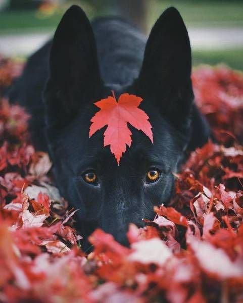 ძაღლი შემოდგომის ფოთლებში