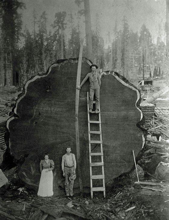ყველაზე დიდი ხე რაც კი მოუჭრიათ