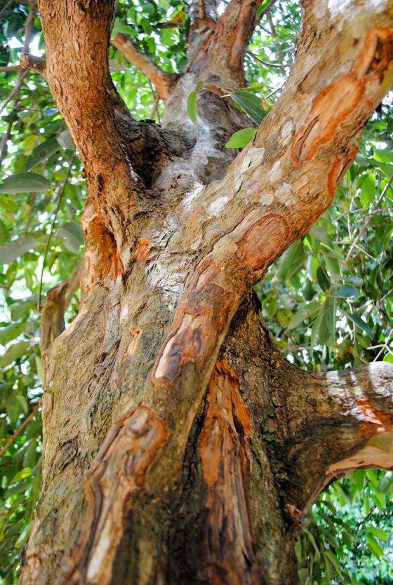 დარიჩინის ხე,  რომლის გამომშრალი ქერქისგან მზადდება დარიჩინი