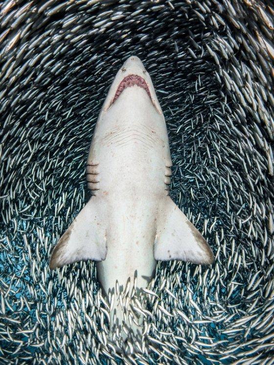ზვიგენი სამოთხეში