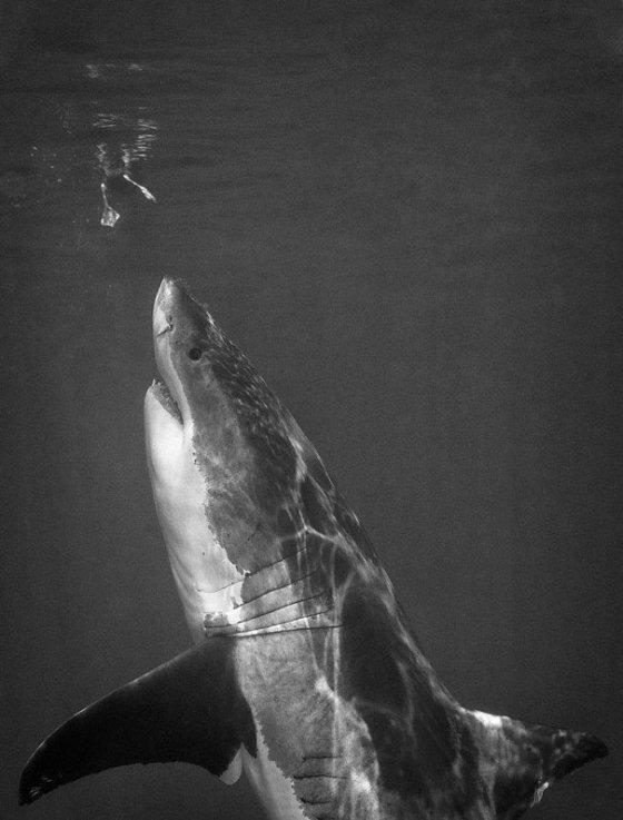 ზვიგენის ნადირობა, როგორც ასეთი