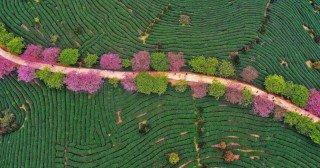 ჩაის პლანტაციები ჩინეთში (ფოტო)