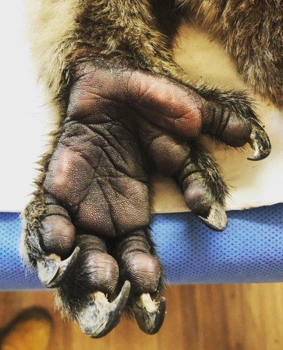 ასე გამოიყურება კოალას ხელი