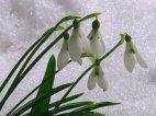 ყვავილი თოვლში  (გაზაფხული)