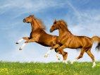 ცხენები