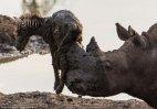 კიდევ ერთი სასწაულია, როცა ლაფში ჩავარდნილ ზებრას სიკვდილისგან იხსნის Huge rhino
