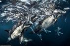 მონადირე დელფინები