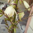 პალმის ყვავილი