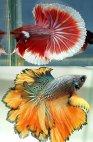 საბრძოლო თევზი,