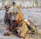 ბუფალოსთან პირისპირ ბრძოლის შემდეგ, ის რაც ლომისგან დარჩა.