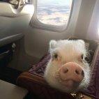 გოჭი თვითმფრინავში
