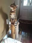 კატა უეჭველი ტელევიზორს უყურებს