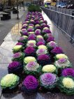 ლამაზი კომბოსტო ყვავილები!