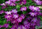 ამ ულამაზეს  ყვავილს  უცნაური სახელი-კლიმატისი  ჰქვია
