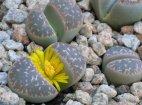 """ლიტოფსი - """"ქვა , რომელიც ყვავილობს""""   (სუკულენტის ნაირსახეობა)"""