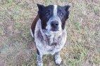 ყრუ და ნახევრად უსინათლო ძაღლი დაკარგულ 3 წლის გოგოს პატრონობდა