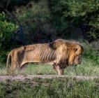 """მგელი მოხუც თანამოძმეს არ მიატოვებს, ცხოველთა """"მეფე"""" კი ოჯახმაც კი მიატოვა ასაკის გამო"""