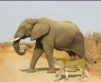 საუკუნის საუკეთესო ფოტო- სპილომ ლომის ბოკვერი გადაარჩინა