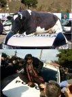 ბელუქსის ძროხა