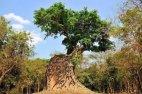 """ხე, რომელმაც ფესვებით  """"ჩაყლაპა"""" უძველესი ტაძარი"""