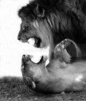 ლომები