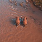 ადგილობრივი ინდოელი სპილოებთან ერთად მდინარეს კვეთს...