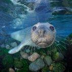 ზღვის სპილო