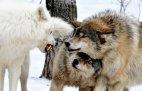 გგონიათ ძუ მგელი თავს აფარებს მამრს და შეშინებულია? - აი, რა ხდება სინამდვილეში