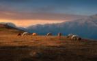ცხვრები და მზე