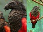 თუთიყუში - დრაკულა