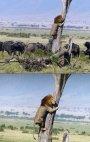 ცხოველთა მეფესაც ეშინია კამეჩის ბასრი რქების