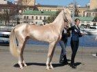 """ახალთექური ჯიშის ცხენი, რომლის ღირებულება ახალი """"როლს-როისის"""" ფასს უტოლდება"""