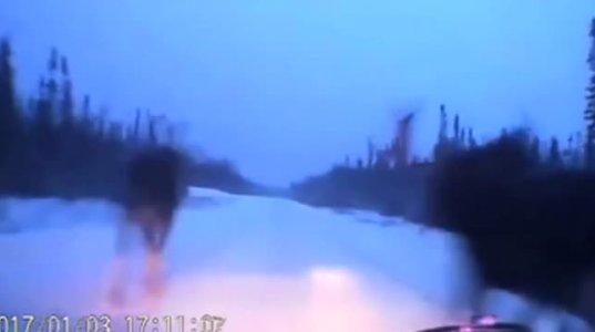 თოვლზე სწრაფად მიმავალი ავტომობილი ორ ლოსის შუა ვირტუოზულად გაძვრა