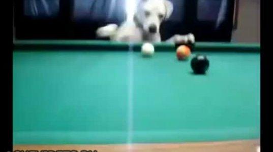 გაგიკვირდებათ, მაგრამ ძაღლი ბევრ ადამიანზე კარგად თამაშობს ბილიარდს