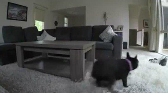 ოჯახი სტუმრად წავიდა და სახლში ძაღლი მარტო დატოვა! კამერებზე კი ეს დახვდათ