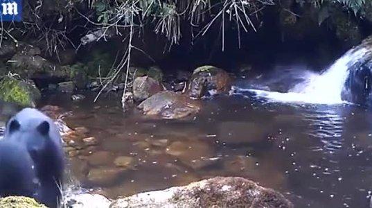 დედა დათვმა ურჩი ბელი აიძულა ღელე გადაეცურა(კოლუმბია)