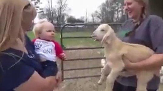 """პატარა ბავშვი ბატკანის """"პეტელს"""" იმეორებს ძალზე სახალისოდ"""