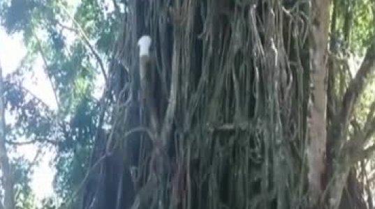 """""""თანამედროვე ტარზანი"""" წამებში ადის და ჩამოდის უზარმაზარ ხეზე"""