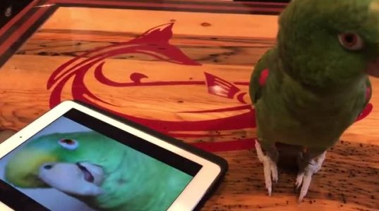 თუთიყუში თავისავე ჩაწერილ ხმას დუეტში ასრულებს