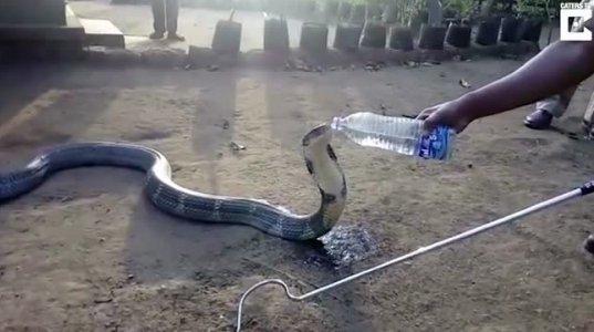 გინახავთ ასეთი რამ?! კობრა წყალს ბოთლიდან სვამს